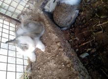 أرانب عمانية