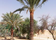date palm trees for sale 0561513145