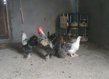 للبيع دجاج برهما منتج