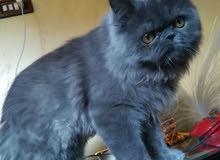 قطه  سكتش فولد  بسعر مغري