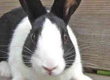 ارانب ذكر وانثى--بيع او مراوس بطيور حب
