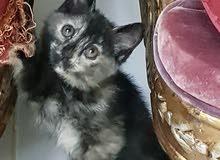قطة شيرازي للتواصل 0553287701