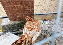 دجاجة باكستانية