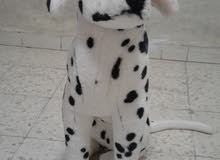 كلب دب قطن حجم كبير