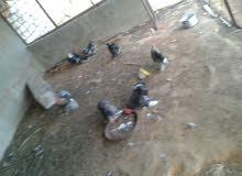 دجاج استورالي 4دجاحات و5افراريج