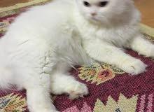 قطة شيرازي للتبني