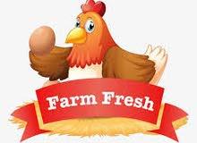 مزرعة دواجن بياض للبيع
