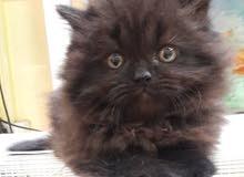 قطه للبيع 3