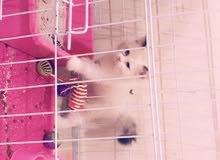 قطط همالايا انثي عمرها ثلاثه شهور اللون ابيض مع بيج تحب  اللعب معها كرت تطعيم وأغراضها