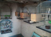 عرض خاااص غية عصافير كوكتيل رمادي للبيع بالقفص والبياضة