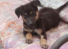 كلب جيرمن عمر شهر ونص سعر 150 الف