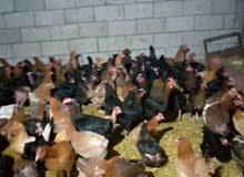 للبيع 70جاجه بلدي بياض