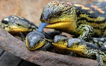 I am looking for blue tongue skink