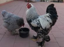 بيض دجاج البراهما مخصب