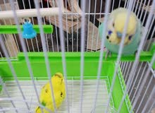 2 birds with cage