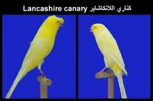 مطلوب كناري لانكشاير Lancashire canary wanted