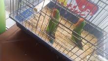 طيور الروز
