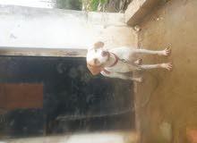 كلبه صيد بونتر مدربه على اطير وطاعه للإستفسار الاتصال على الرقم 0776331934