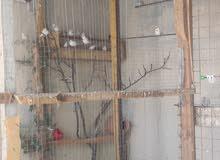 طيور جنه شغالات لون ابيض