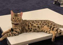 قط بنغالي ذكر بيور