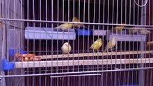 طيور كنارات