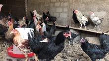 دجاج عماني جاهز للبيض اعمار متفاوته