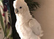 كوكاتو للبيع cockatoo for sale