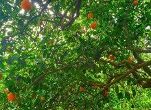 للبيع مزرعة 15فدان مزروعة بأشجار المانجو اليوسفي - مصر