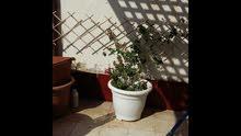 نباتات فل وياسمين وورد ونباتات داخلية