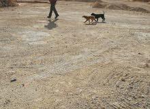 كلبة ستر اسبانيه غير شكل  مع جروتها للبيع