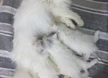 للبيع 3 قطط صغار