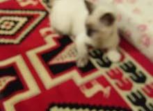 قطة أنثي سيامي صغيرة