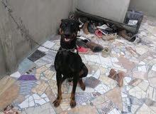 كلب دوبر مان عندة سنة