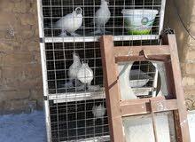 طيور خمسه زوجين نثيه وفحل وتك نثيه محجلات