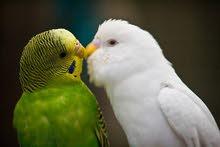 15 زوج طيور حب