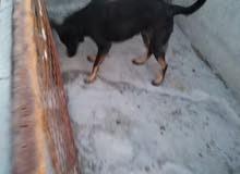 أنثى كلب جيرمان شبر بلاك كوت