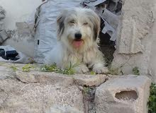كلب ارمنت
