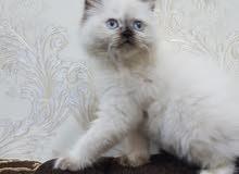 قطة هملايا شهرين ونصف مطعمة ولعوبة للبيع