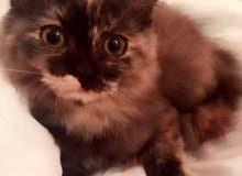 قطة انثى تورتيلا شيرازيه للبيع