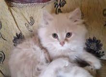 قطط مخلط رومي و شيرازي
