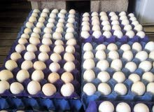بيض فيومي اصل مخصب للفقاسات إنتاج يومي