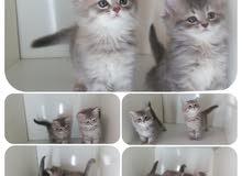قطتين صغار للبيع