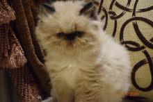 قط ولد هيمالايا