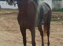 حصان مول يد 5-2013