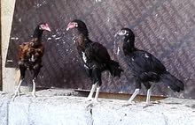 للبيع دجاج بكستاني العمر 4اشهر الحبه ب 12 ديكين ودجاجه للتوصل وتساب 97324679