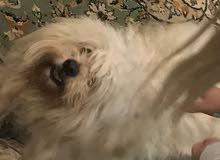 كلاب للبيع  نوع تيري   بلجيكي