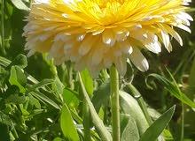 يتوفر نبات الجت لعلف كافة الحيوانات للبيع جملة سعر الشده 750