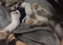 Persian cat for sale   قط شيرازي للبيع