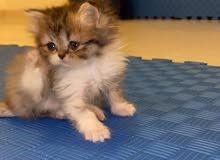 قطه بيرشن عمر شهرين للبيع