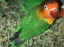 طيور فيشر مع القفص تغرديتهم حلوه